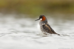 lyskonoh zkozob, samice / Red-necked Phalarope, female (Phalaropus lobatus)