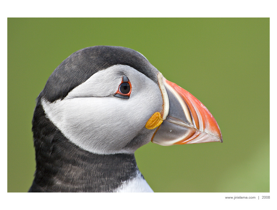 Puffin on the Skomer Island